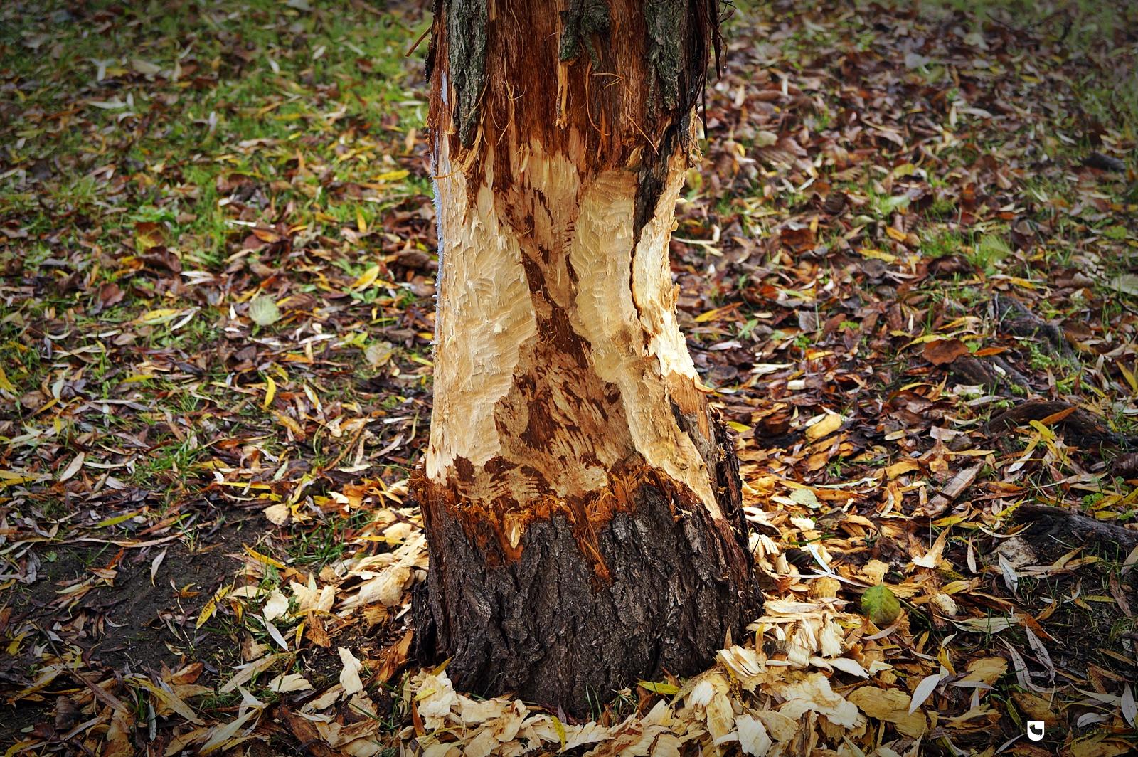 Bobry znów niszczą drzewa. Ratunkiem metalowa siatka